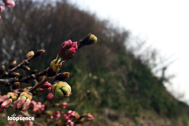 2016年桜の写真
