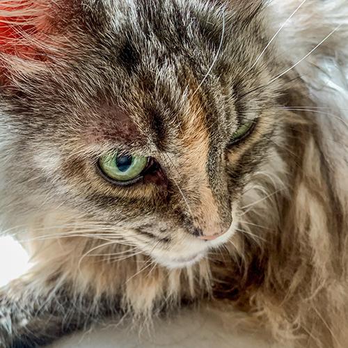 モデル猫のもえお嬢様